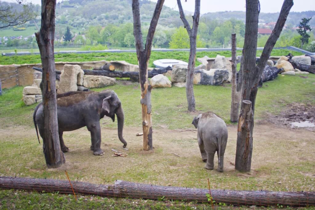 Elefanter I Prags Zoologiske Have Prag