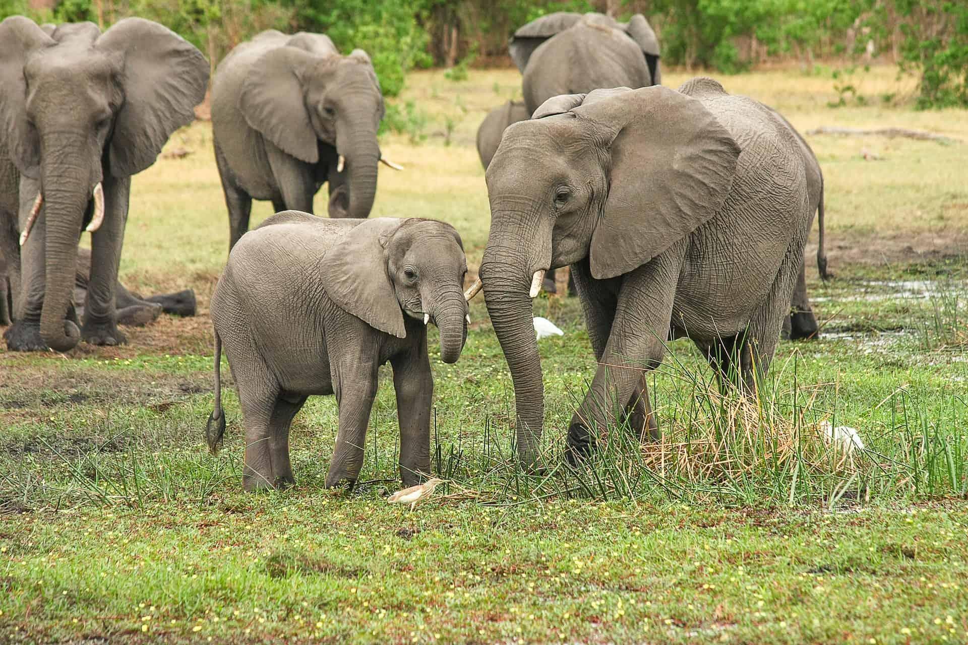 En Flok Elefanter I Deres Naturlige Habitat I Afrika