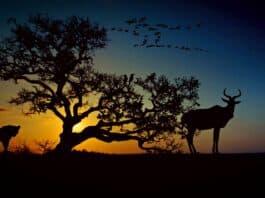 En Leopard Er På Lur Efter Et Byttedyr Ved Solnedgang Foran Et Træ I Afrika