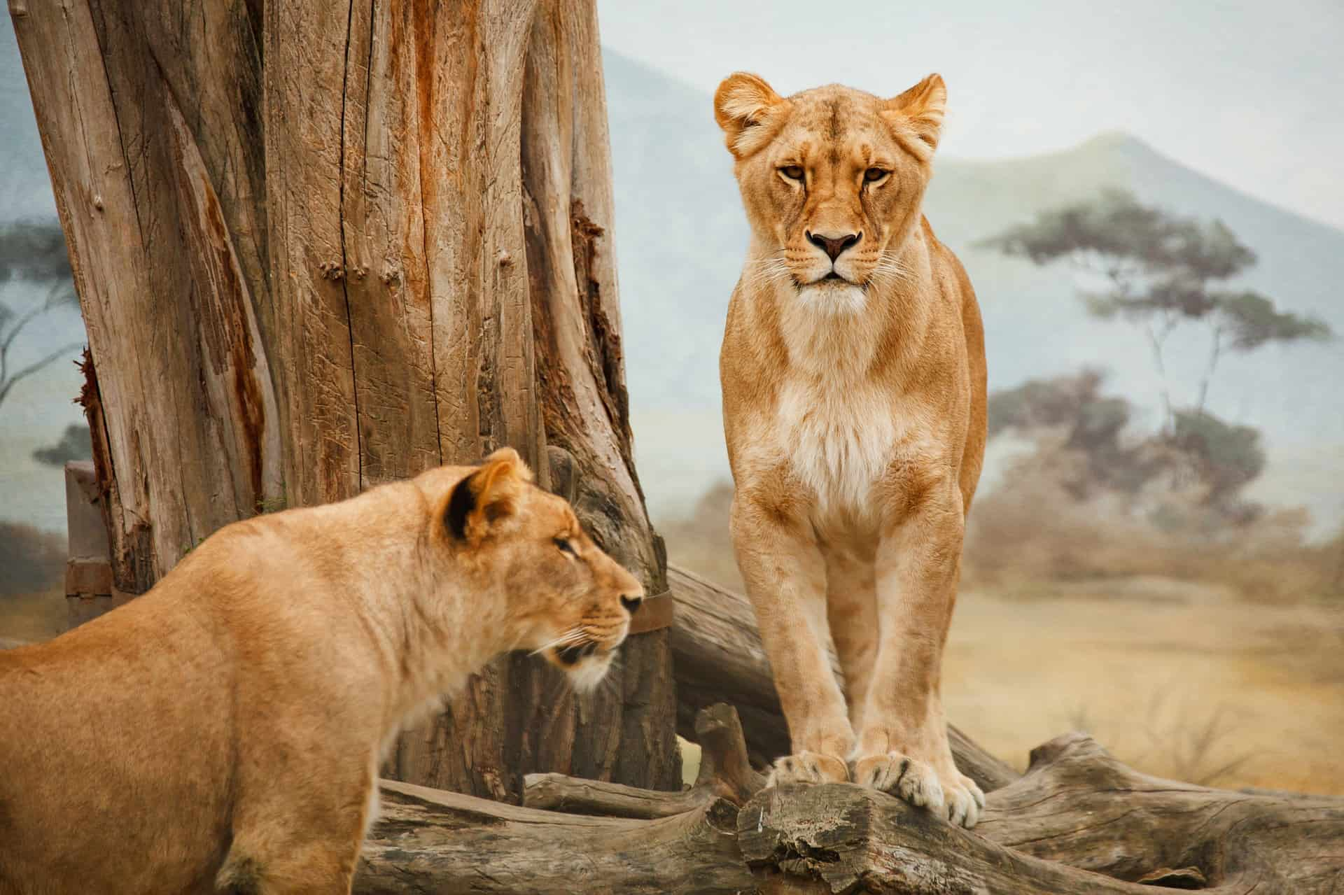 To Hunløver Står Ved Et Træ I Afrika